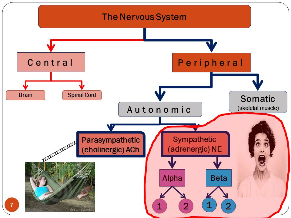 The Nervous System Central Peripheral Somatic Autonomic 1 2 1 2