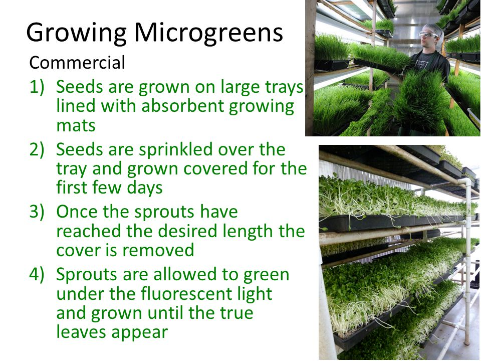 Growing Microgreens Commercial