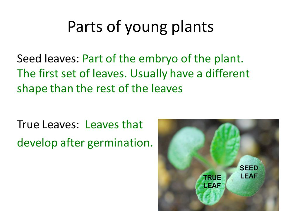 Parts of young plants