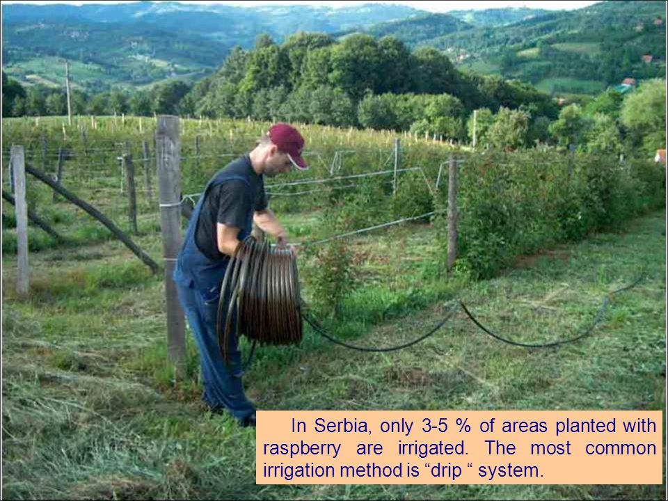 In Serbia, only 3-5 % of areas planted with raspberry are irrigated