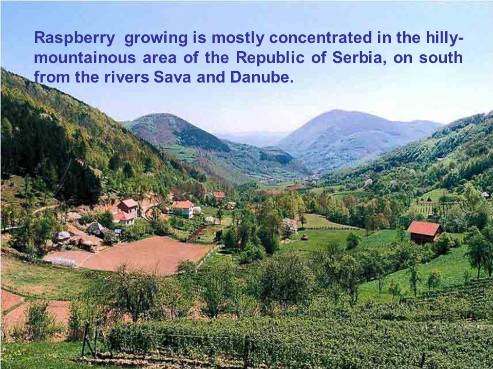 Raspberry growing is mostly concentrated in the hilly-mountainous area of the Republic of Serbia, on south from the rivers Sava and Danube.