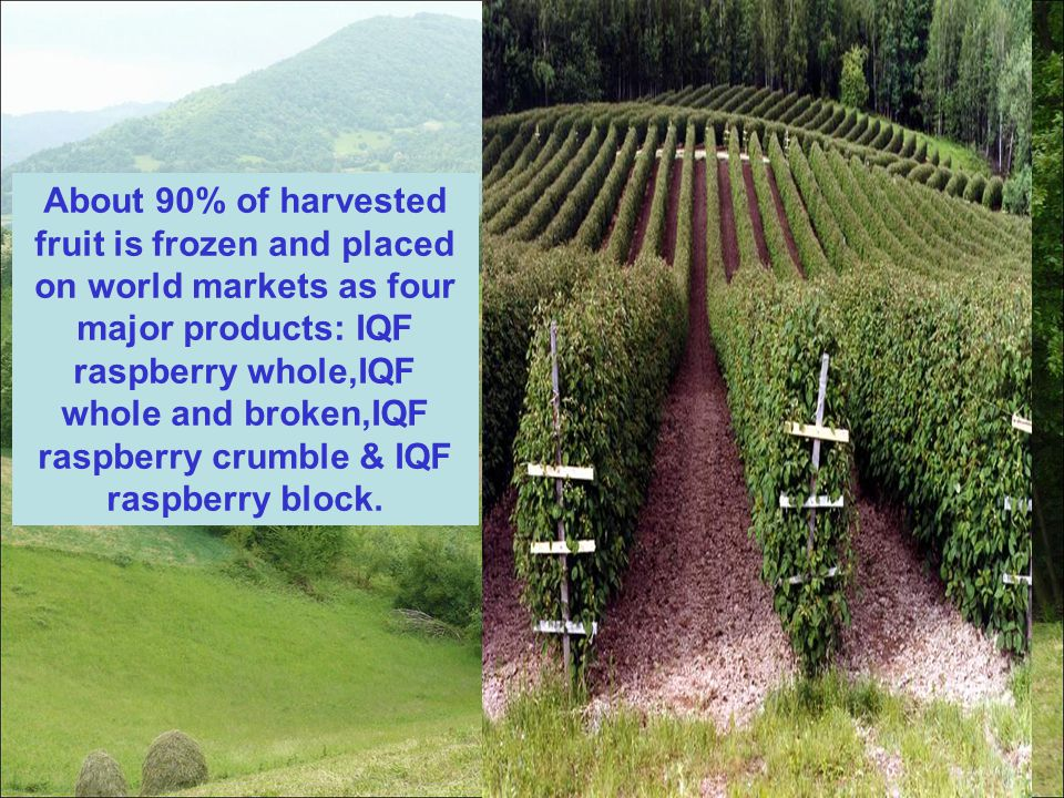About 90% of harvested fruit is frozen and placed on world markets as four major products: IQF raspberry whole,IQF whole and broken,IQF raspberry crumble & IQF raspberry block.