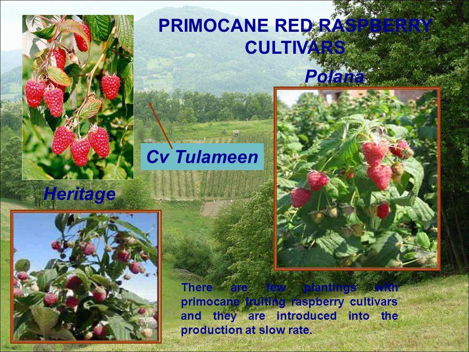 PRIMOCANE RED RASPBERRY CULTIVARS