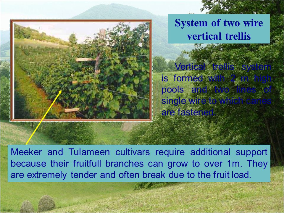 System of two wire vertical trellis