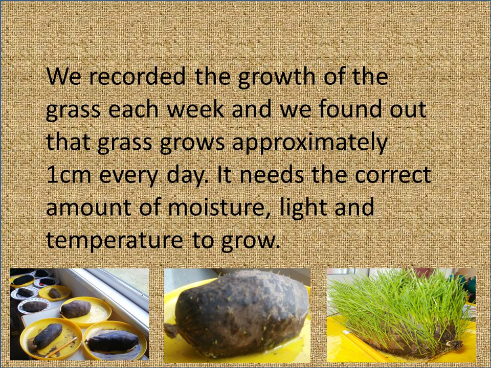 We recorded the growth of the grass each week and we found out that grass grows approximately 1cm every day.