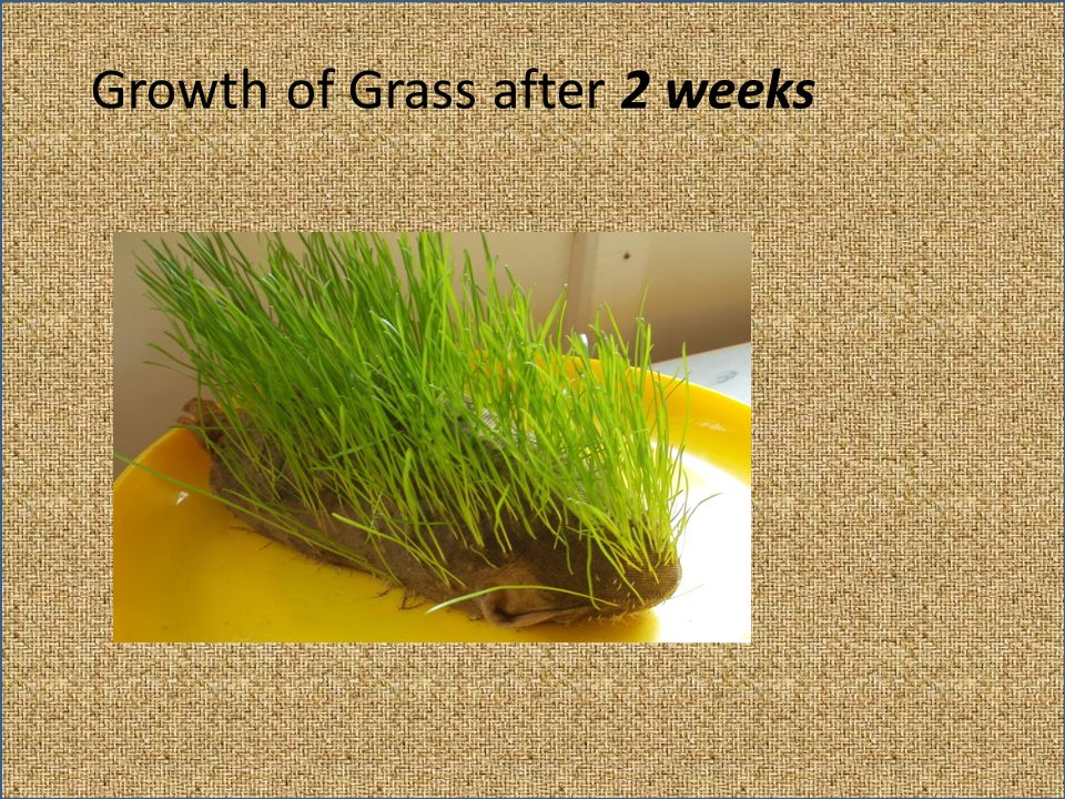 Growth of Grass after 2 weeks