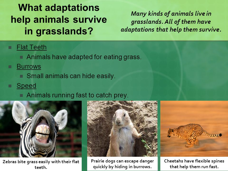 What adaptations help animals survive in grasslands
