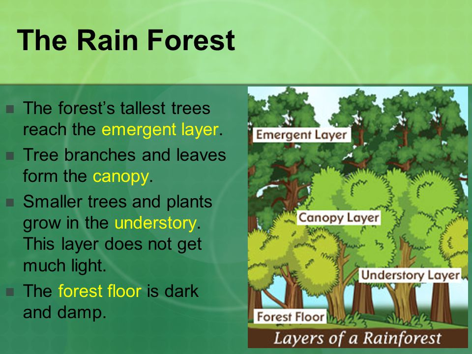 The Rain Forest The forest's tallest trees reach the emergent layer.