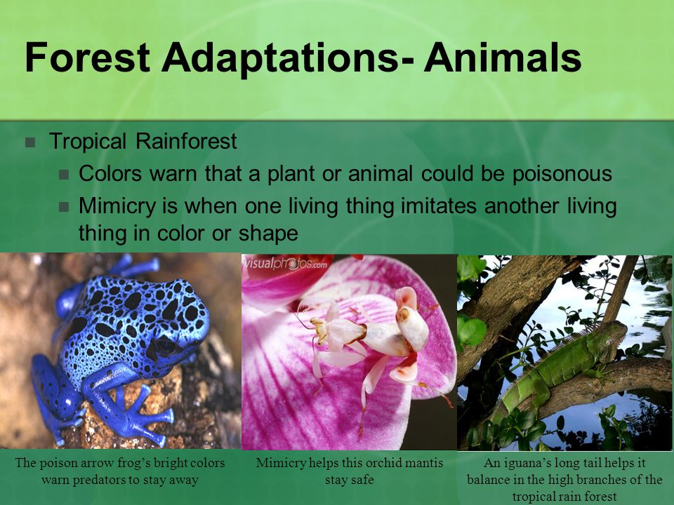 Tropical Rain Forest Adaptations of Plants & Animals