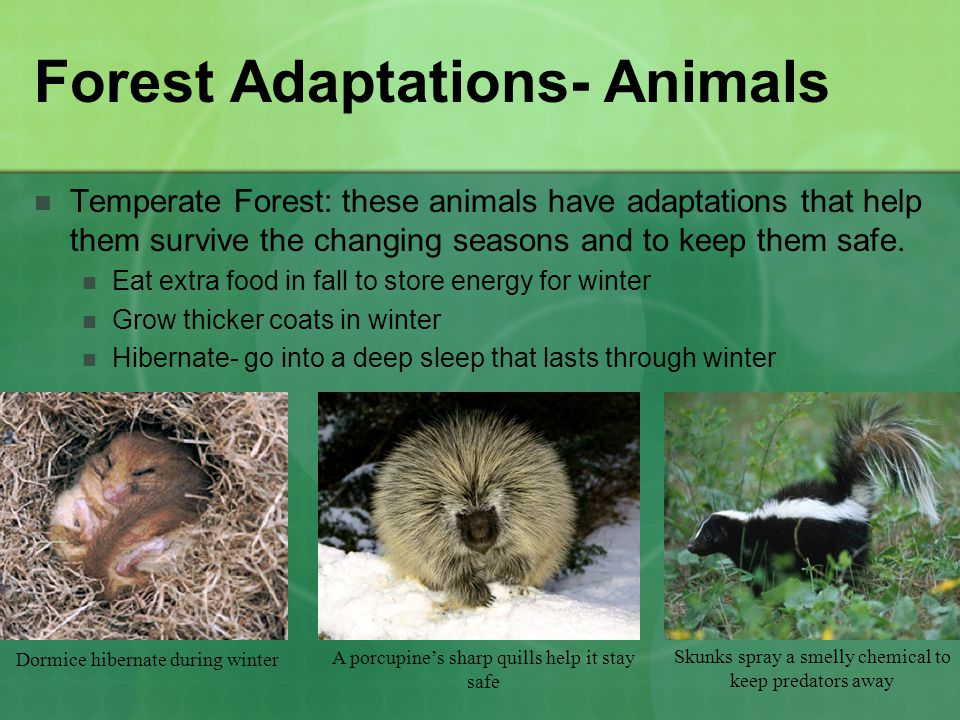 Forest Adaptations- Animals