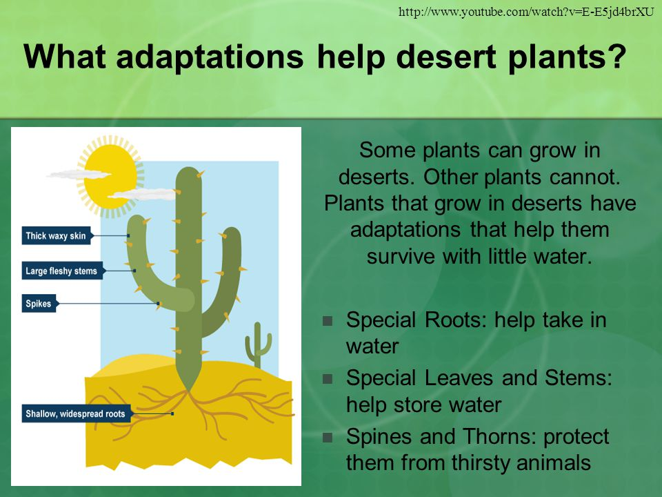 What adaptations help desert plants