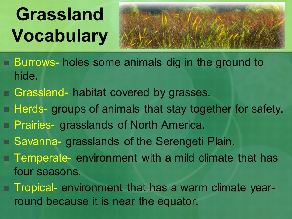 Grassland Vocabulary Burrows- holes some animals dig in the ground to hide. Grassland- habitat covered by grasses.