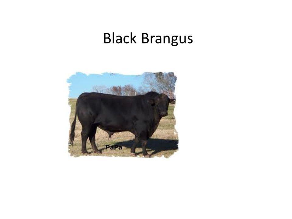 Black Brangus