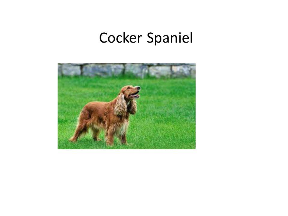 Cocker Spaniel