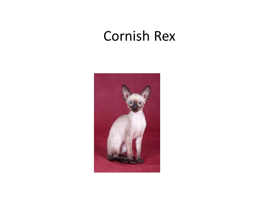 Cornish Rex