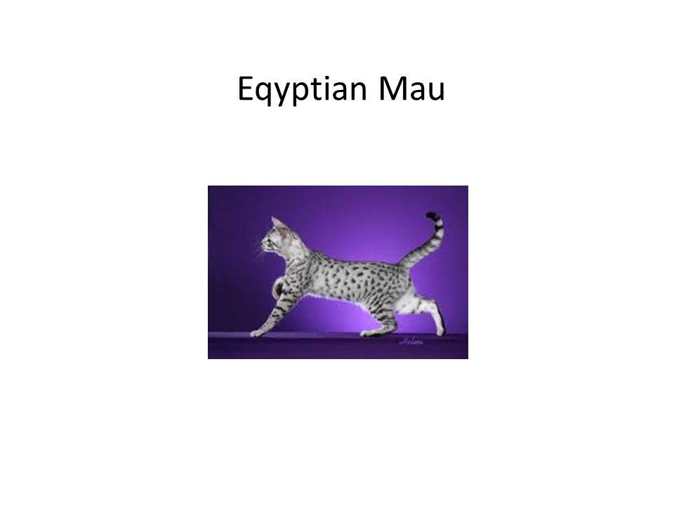 Eqyptian Mau