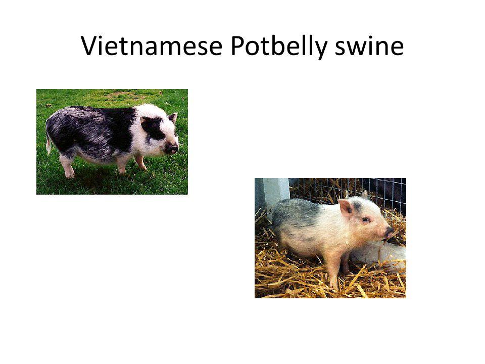 Vietnamese Potbelly swine