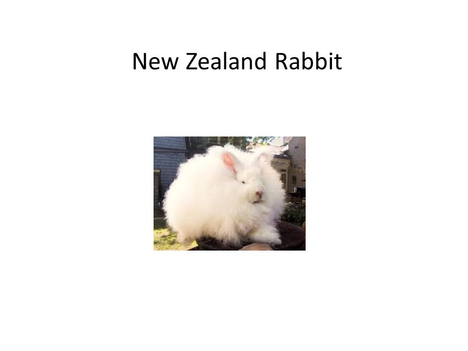 New Zealand Rabbit