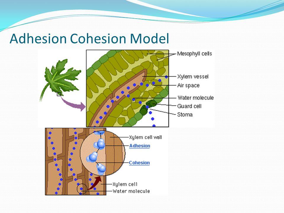 Adhesion Cohesion Model