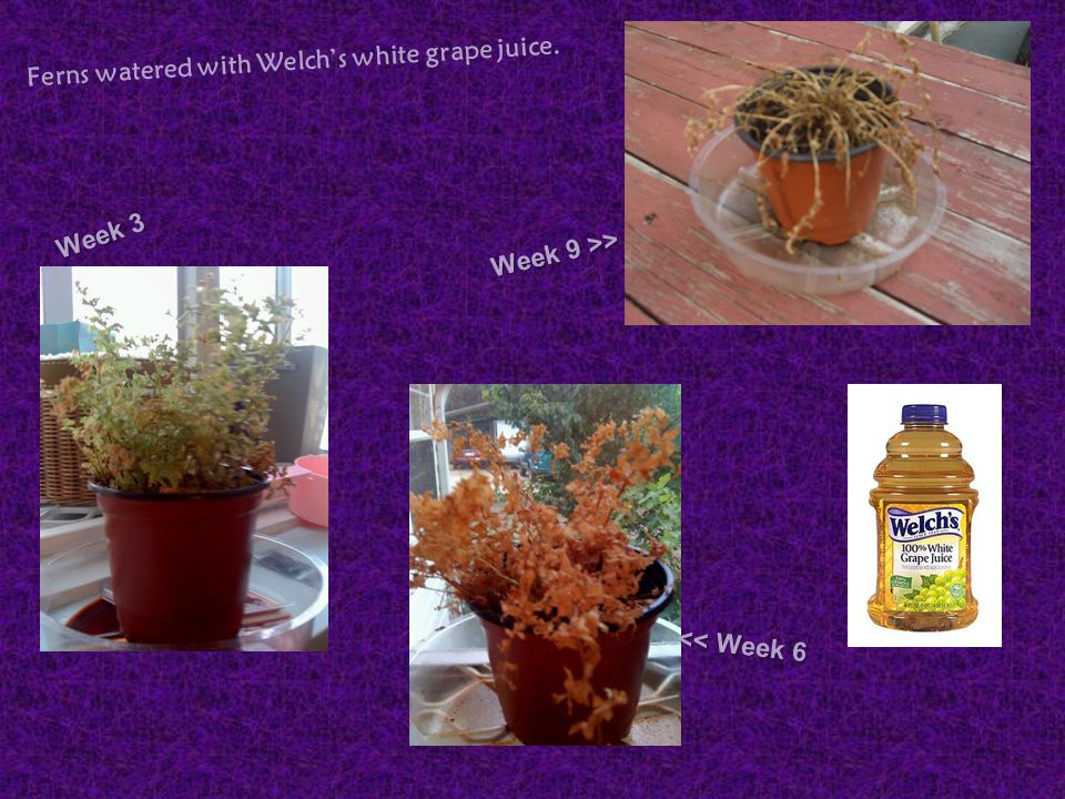 Ferns watered with Welch's white grape juice.
