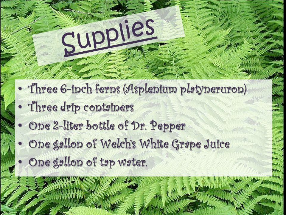 Supplies Three 6-inch ferns (Asplenium platyneruron)