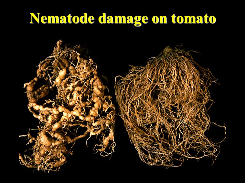 Nematode damage on tomato
