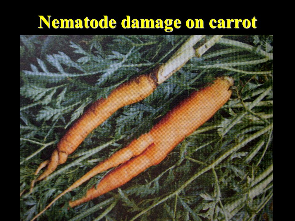 Nematode damage on carrot