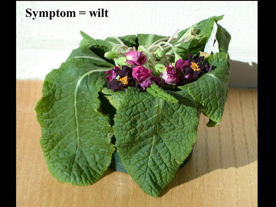Symptom = wilt