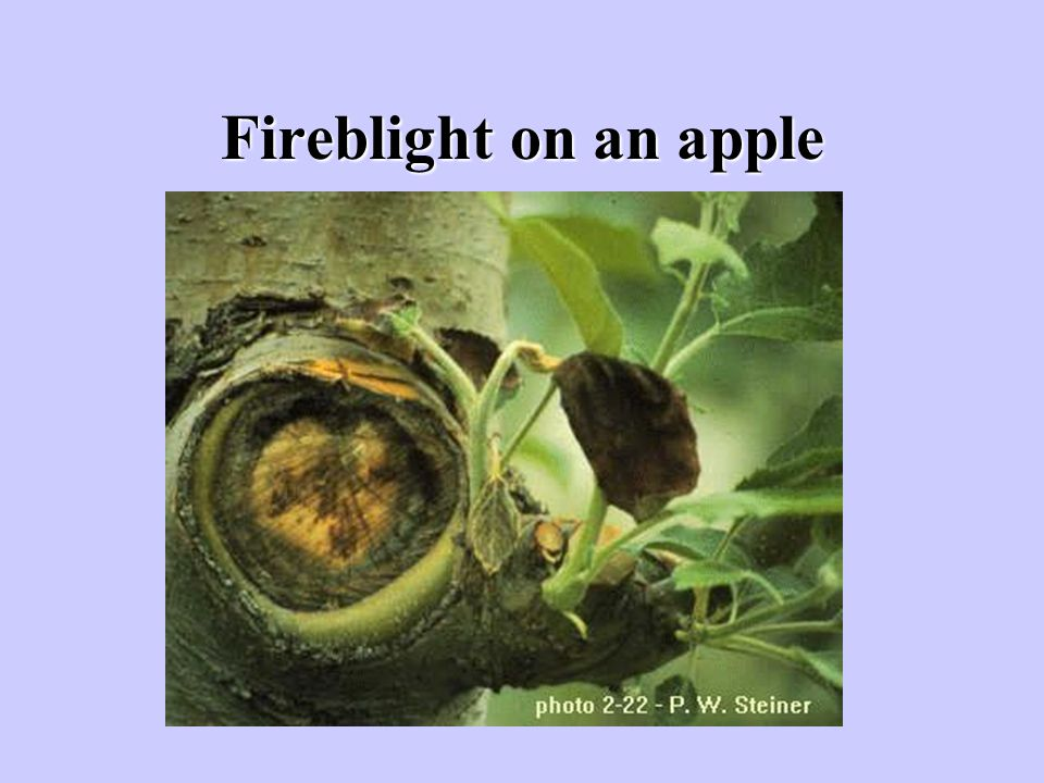 Fireblight on an apple