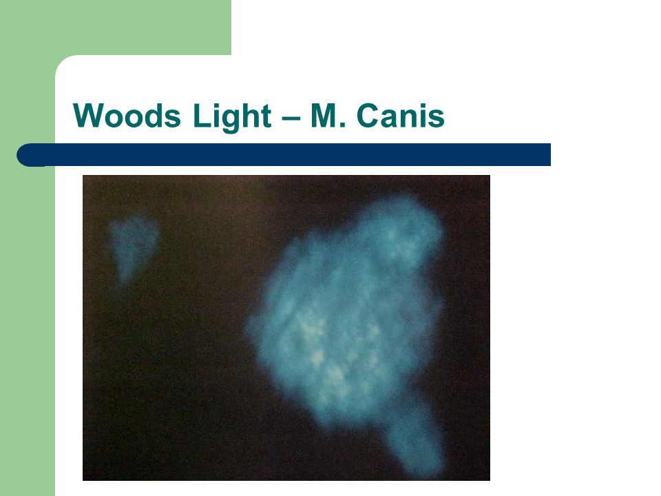 Woods Light – M. Canis