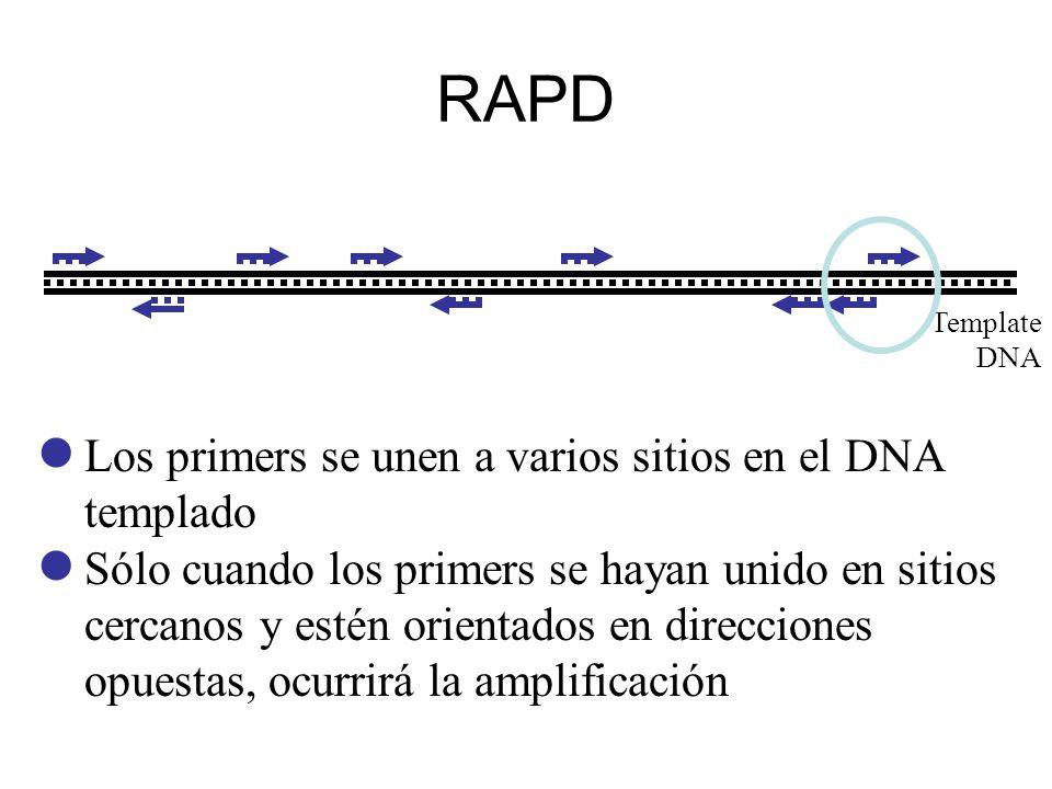 RAPD Los primers se unen a varios sitios en el DNA templado