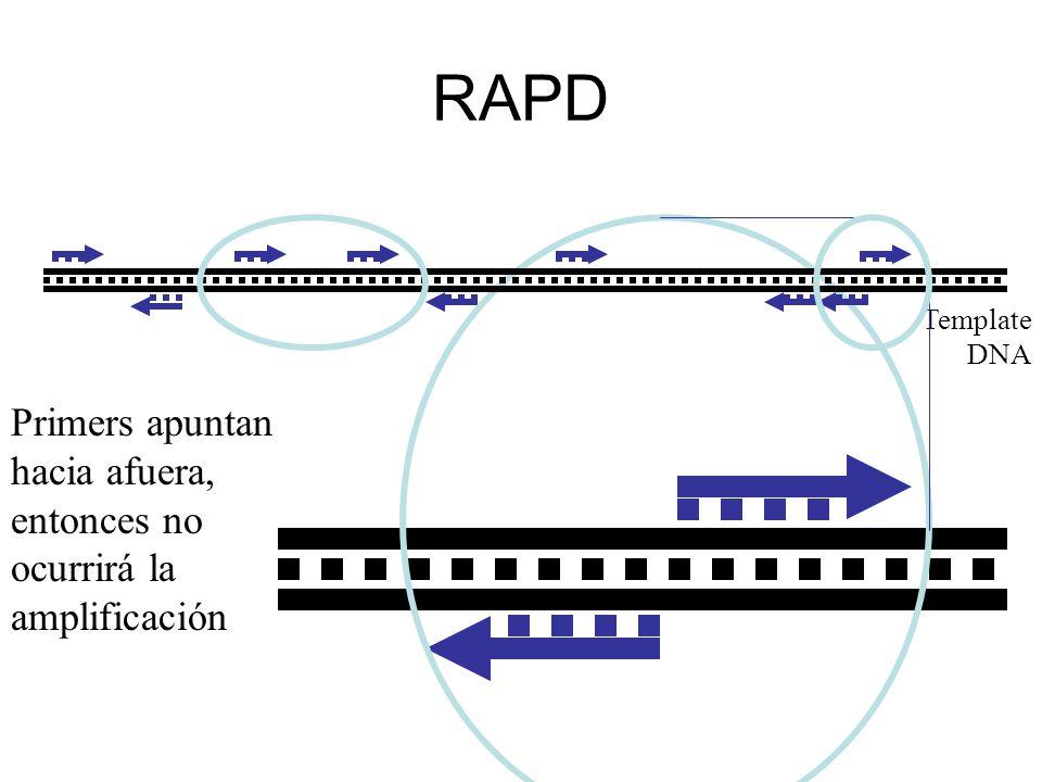 RAPD Template DNA Primers apuntan hacia afuera, entonces no ocurrirá la amplificación