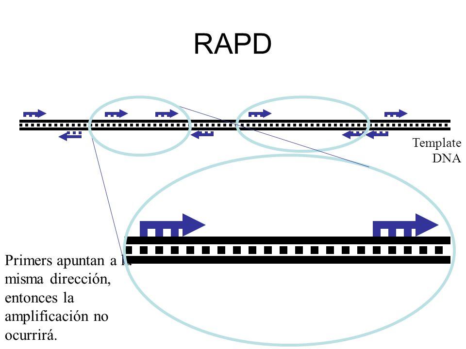 RAPD Template DNA Primers apuntan a la misma dirección, entonces la amplificación no ocurrirá.