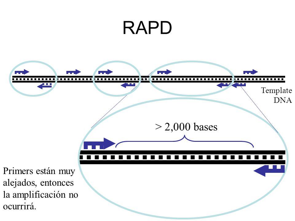 RAPD Template DNA > 2,000 bases Primers están muy alejados, entonces la amplificación no ocurrirá.