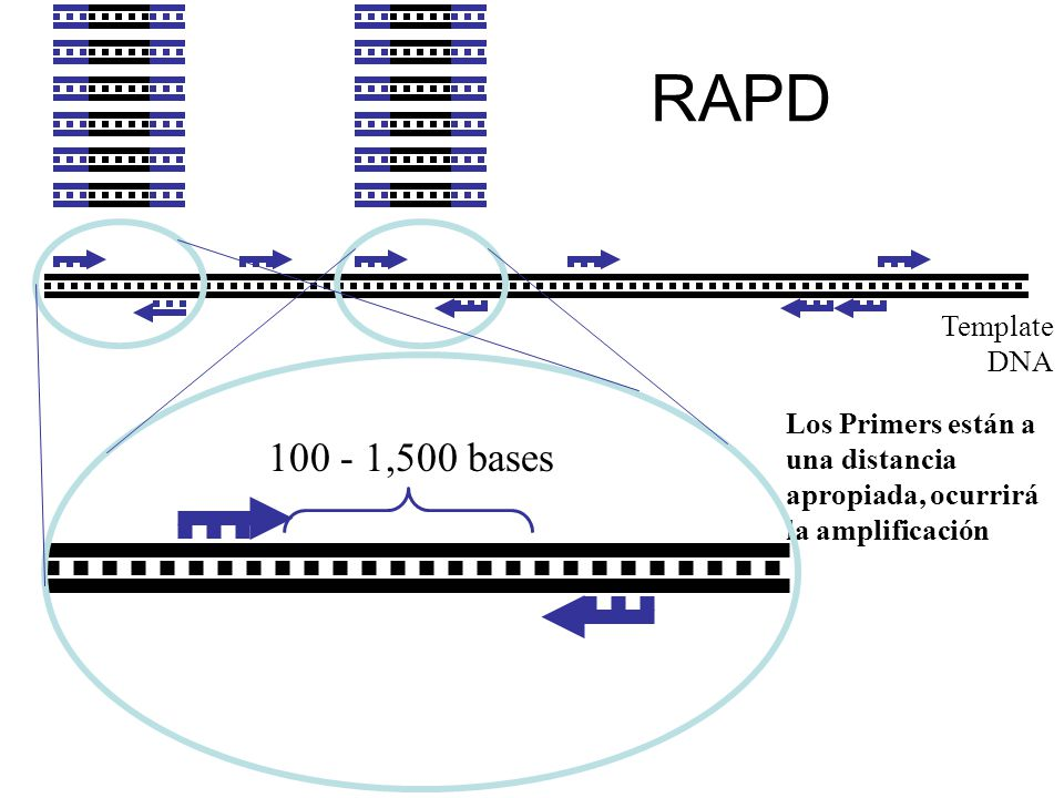 RAPD 100 - 1,500 bases Template DNA