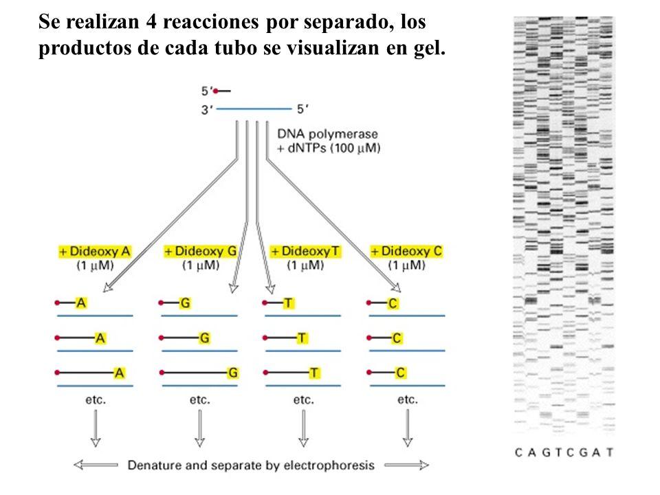 Se realizan 4 reacciones por separado, los productos de cada tubo se visualizan en gel.
