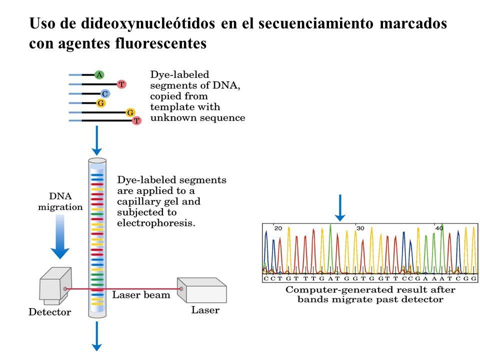 Uso de dideoxynucleótidos en el secuenciamiento marcados con agentes fluorescentes