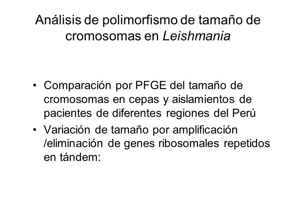Análisis de polimorfismo de tamaño de cromosomas en Leishmania