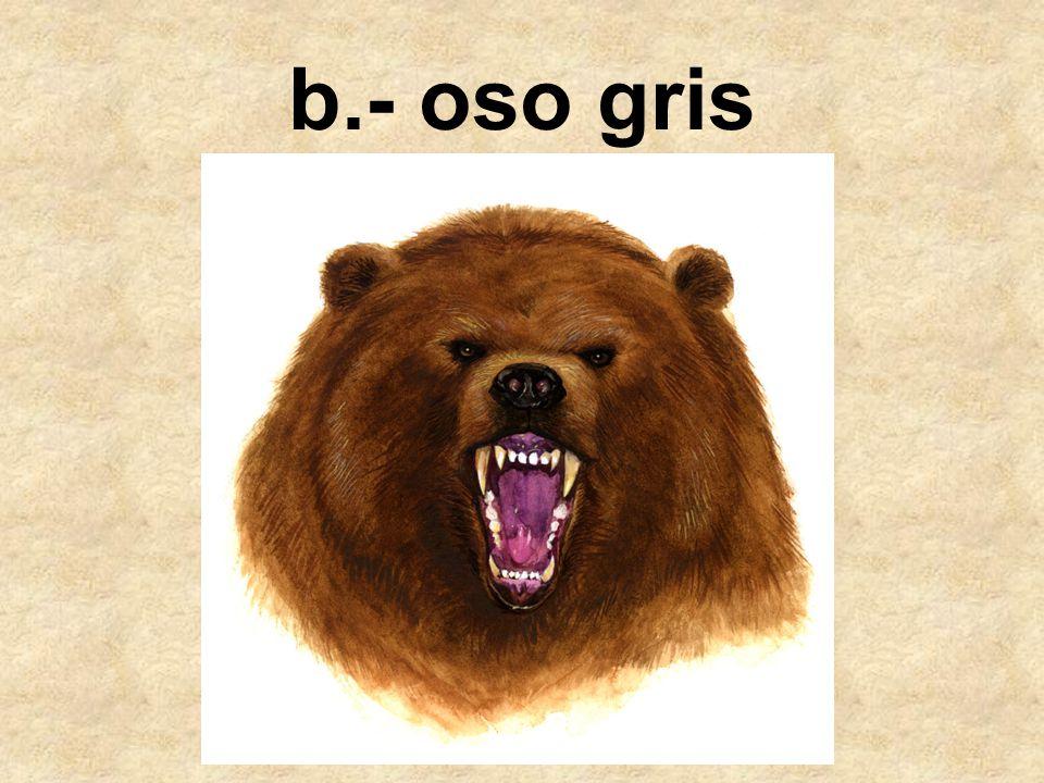 b.- oso gris