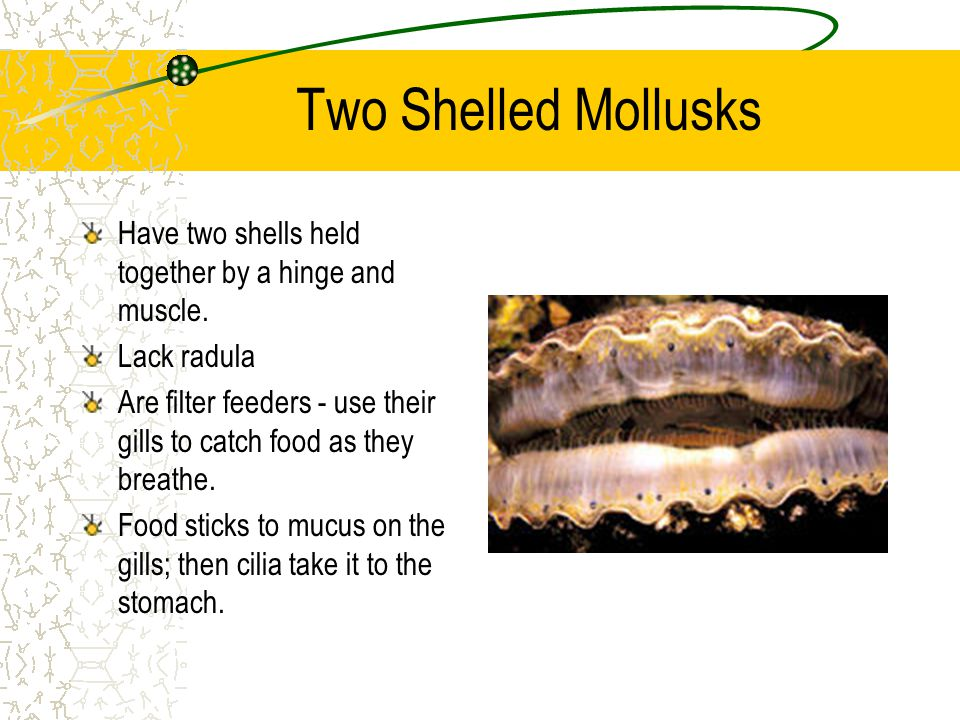 Two Shelled Mollusks Have two shells held together by a hinge and muscle. Lack radula.