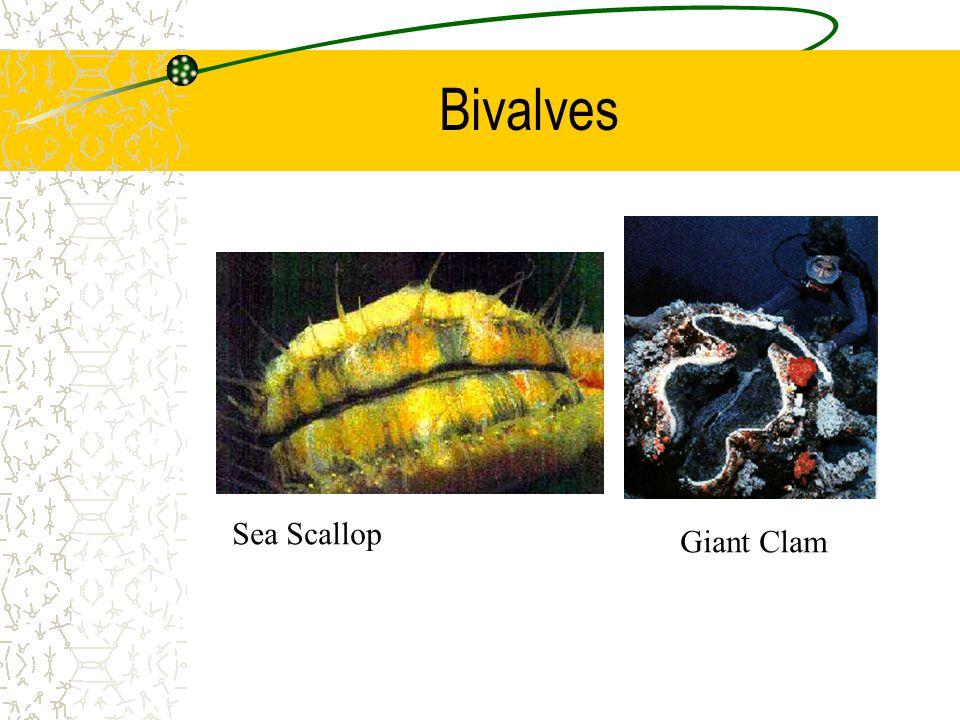 Bivalves Sea Scallop Giant Clam