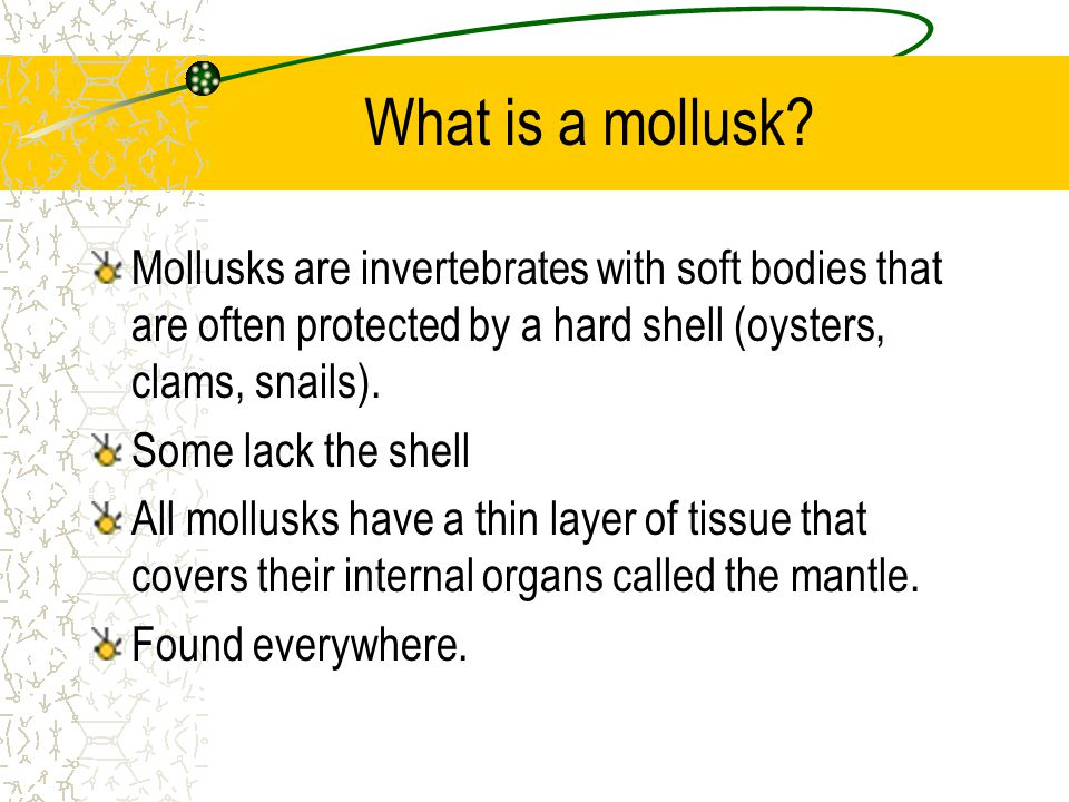 What is a mollusk Mollusks are invertebrates with soft bodies that are often protected by a hard shell (oysters, clams, snails).