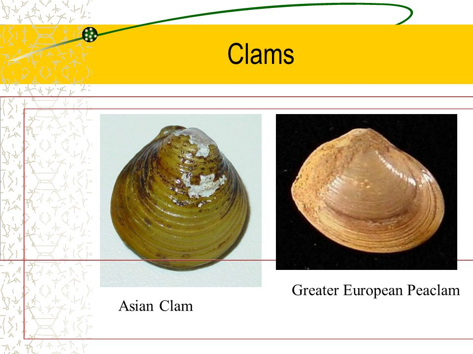 Clams Greater European Peaclam.