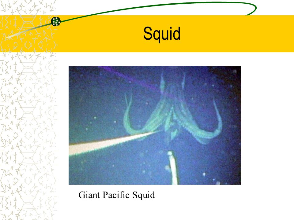 Squid Giant Pacific Squid