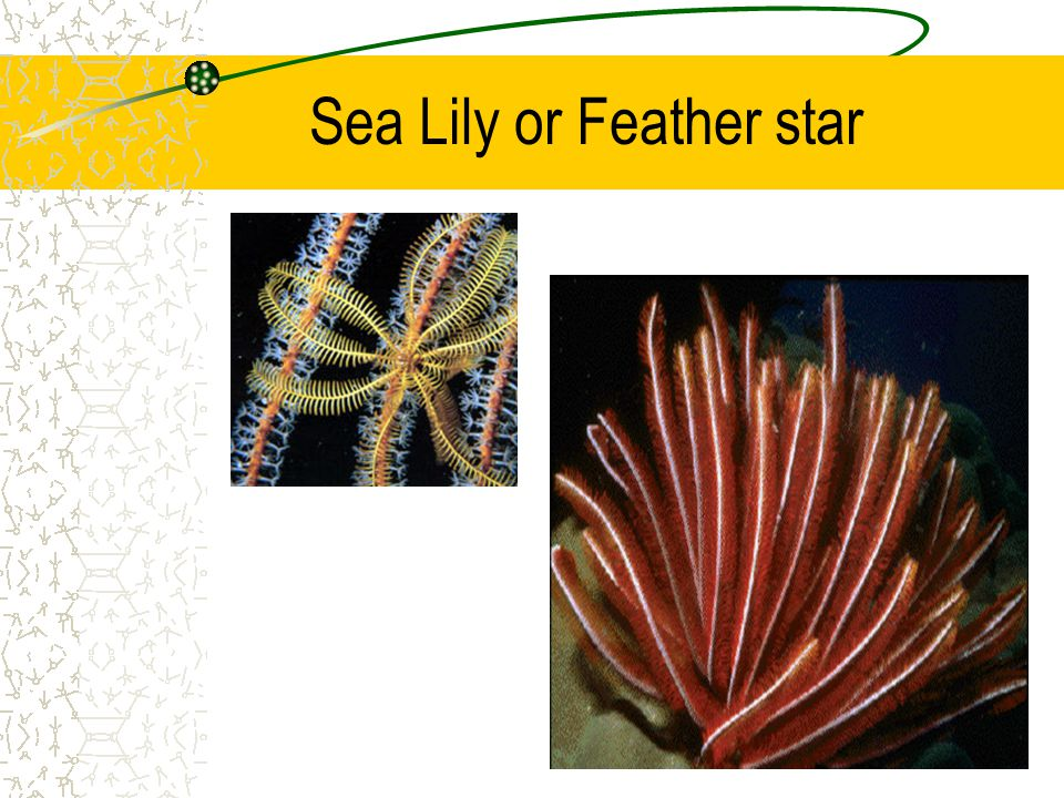 Sea Lily or Feather star
