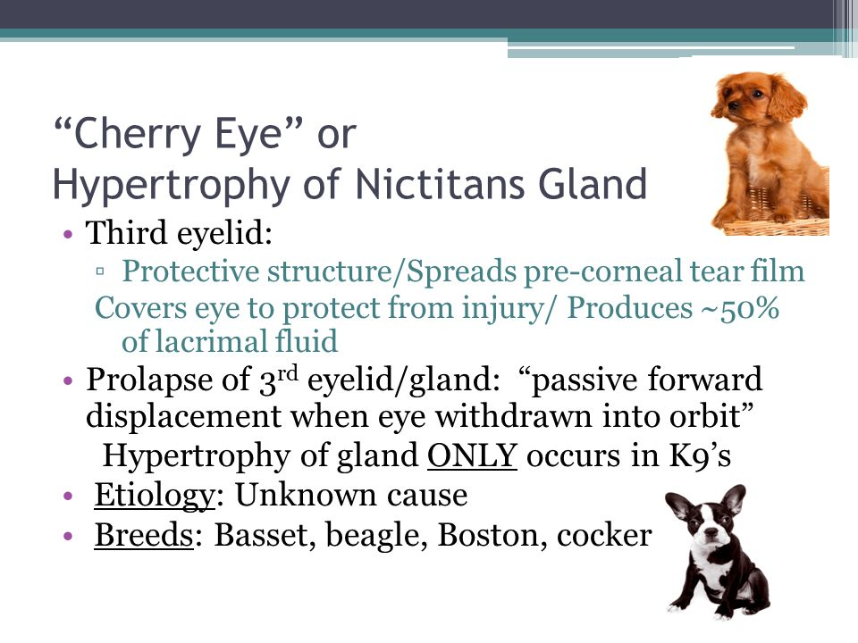 Cherry Eye or Hypertrophy of Nictitans Gland