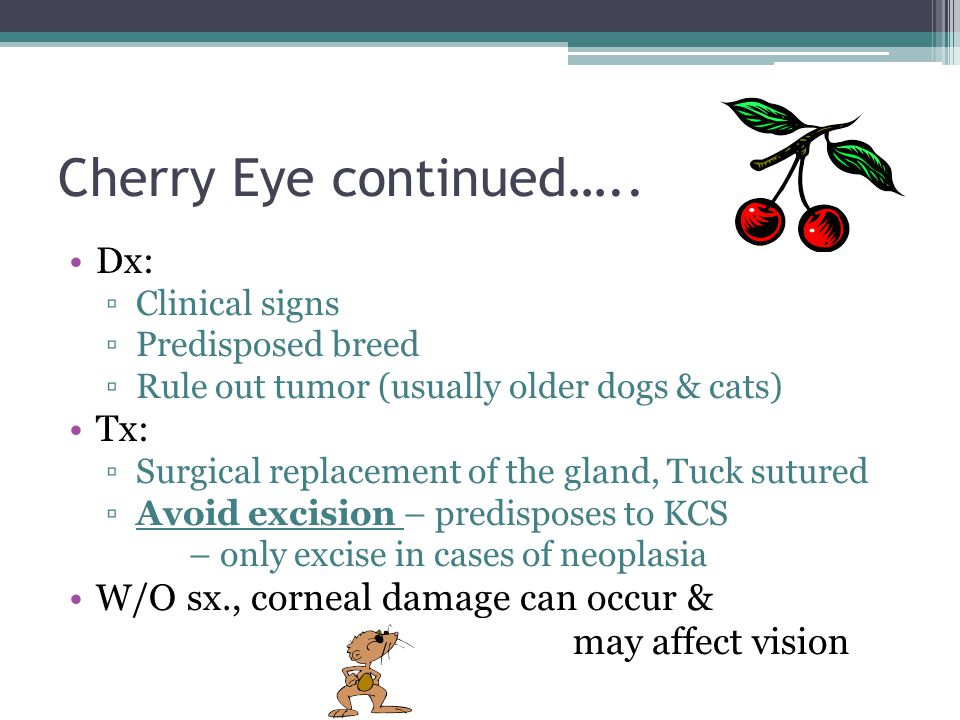 Cherry Eye continued….. Dx: Tx: W/O sx., corneal damage can occur &