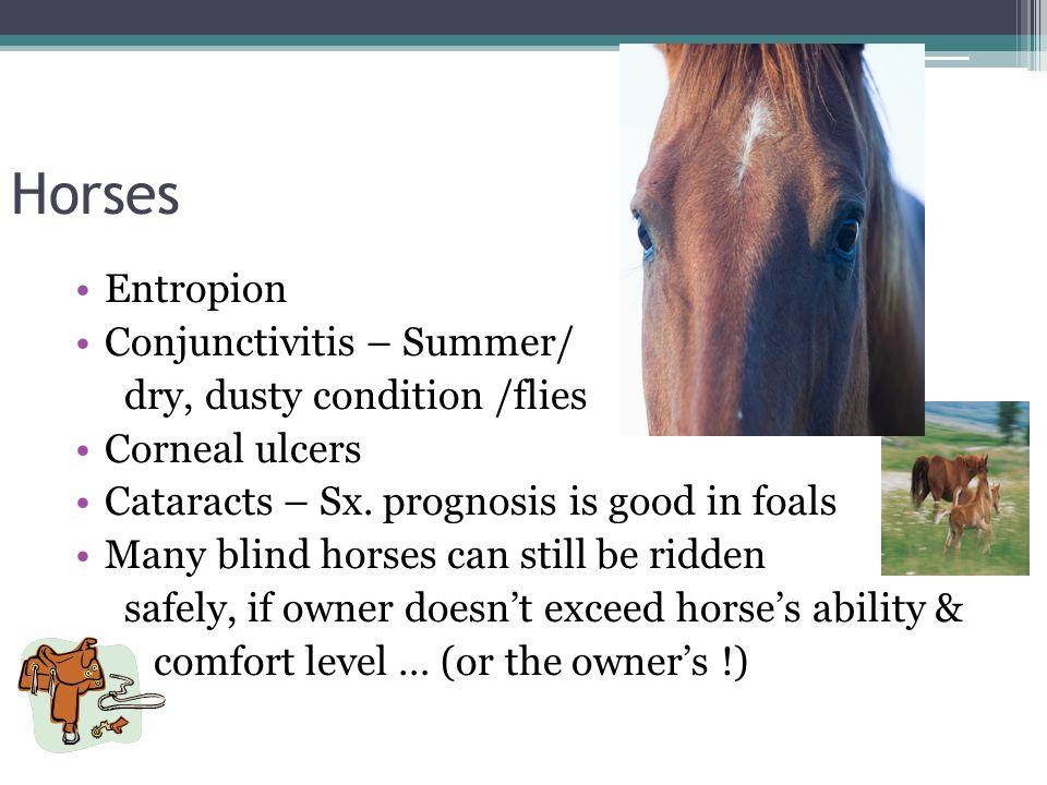 Horses Entropion Conjunctivitis – Summer/ dry, dusty condition /flies