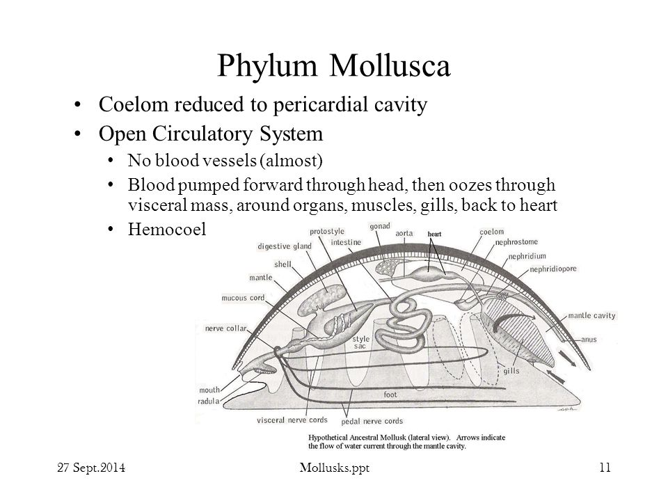 Phylum Mollusca Coelom reduced to pericardial cavity