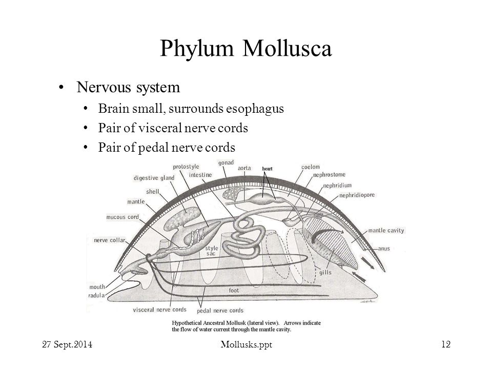 Phylum Mollusca Nervous system Brain small, surrounds esophagus